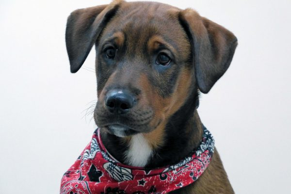A brown, black and white puppy named Boston wearing a red bandana