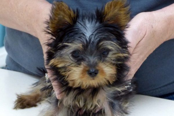A tiny black, and tan Yorkie puppy named Buddy