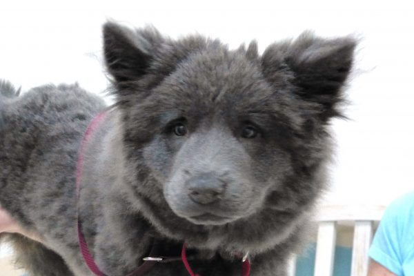 A grey fluffy puppy named Fanny