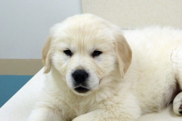 A yellow Labrador puppy named Lincoln