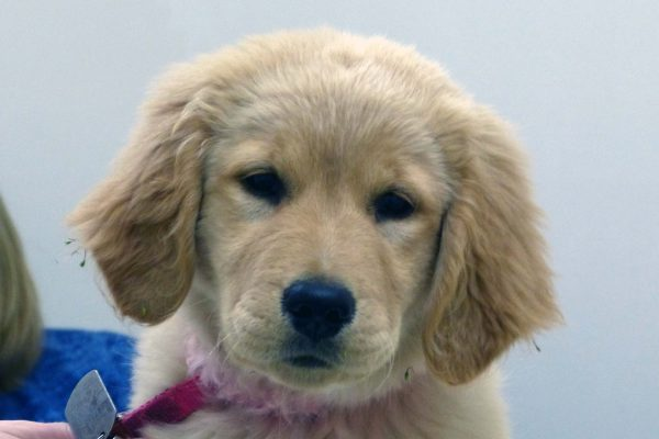 A golden retriever puppy named Tilly