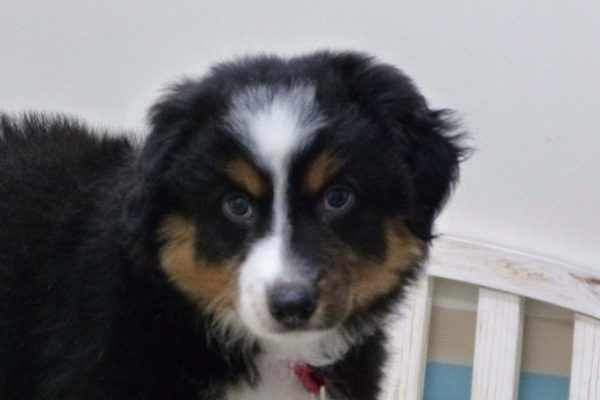 A black, white and tan Australian Shepard puppy named Zeusa