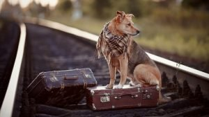 A dog with two suitcases on train tracks