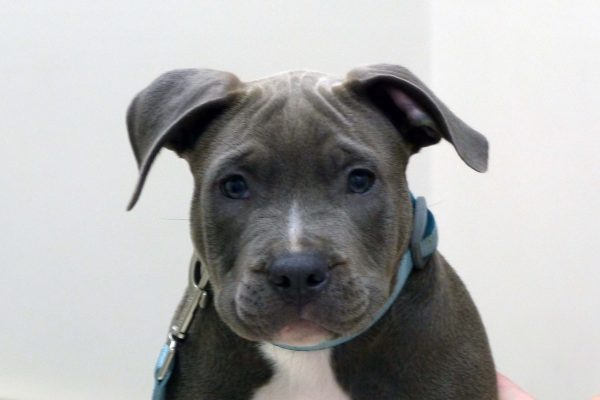 A grey and white pittbull puppy named Bane