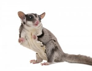 A white, brown and grey sugar glider