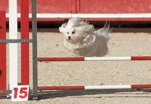 A white dog jumping over an agility jump